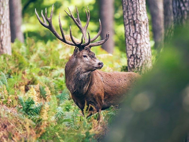 Hirsch in Berchtesgaden Wäldern
