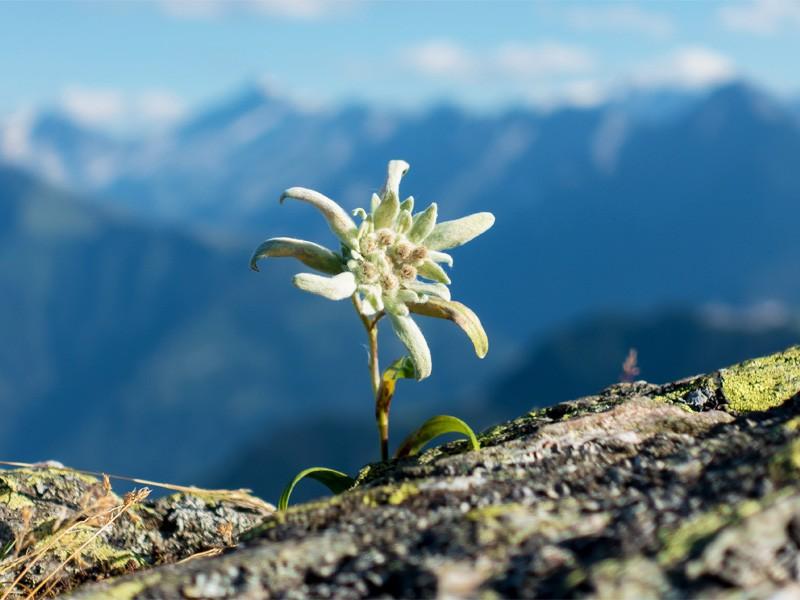 Edelweiß mit Bergpanorama im Nationalpark