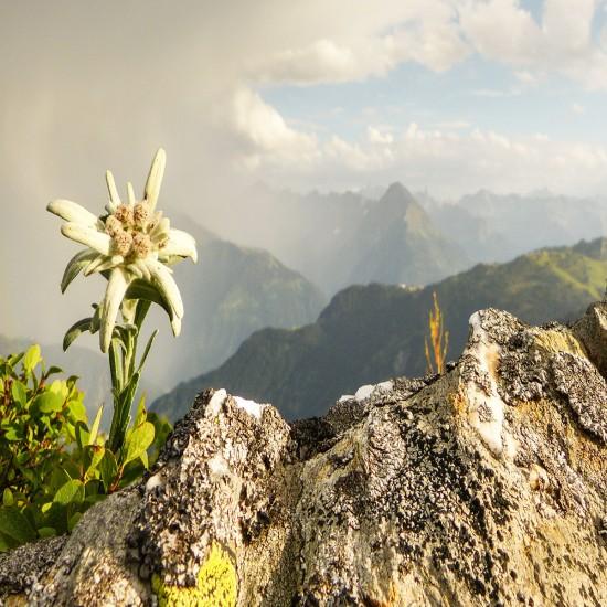 Edelweiss im Berchtesgadener Land
